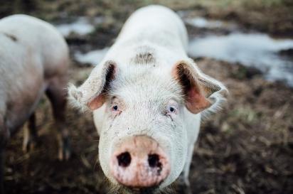 Pig at the Farm